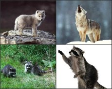 wolves_raccoons